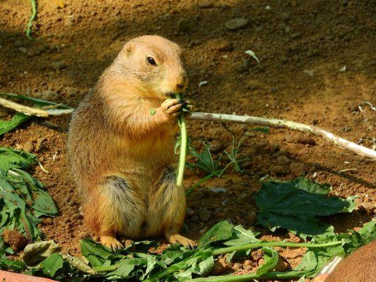 一只土拨鼠(草原犬鼠)