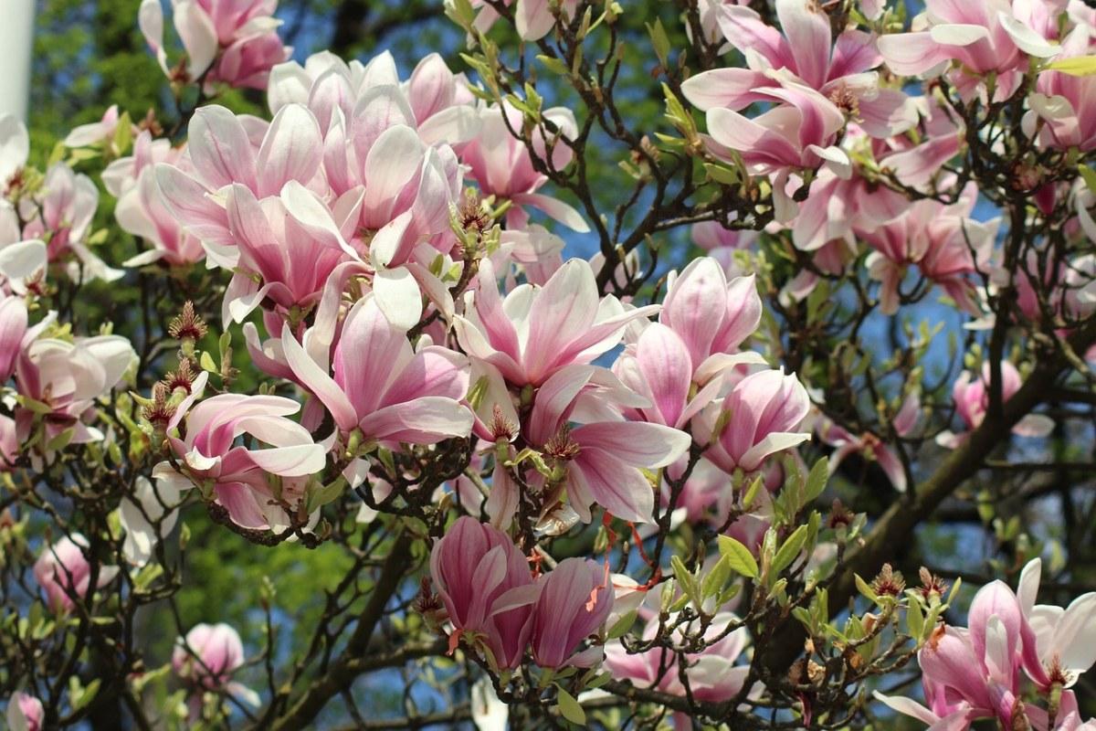 盛开的玉兰花朵