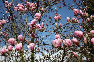 玉兰树上盛开的玉兰花