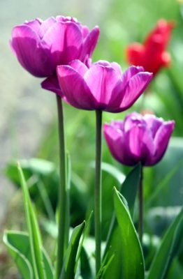 郁金香、性质、植物