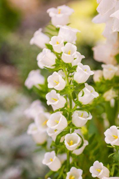 白色的风铃草花朵