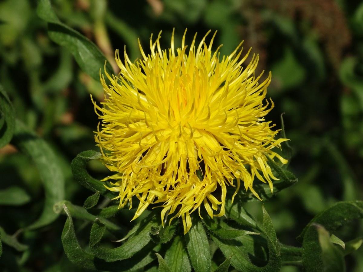 黄色的矢车菊、矢车菊白术、花卉