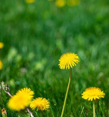 草、绿色、蒲公英
