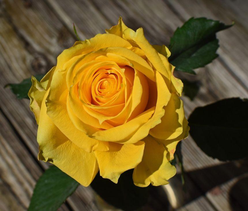 黄色的月季花