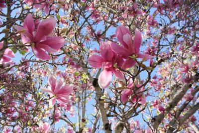 春天盛开的玉兰花图片