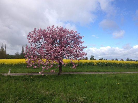 春天油菜花田旁花朵盛开的树