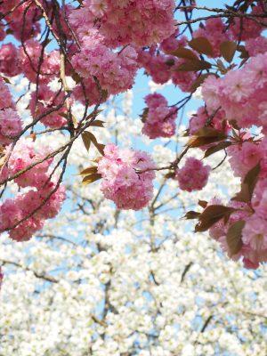 春天粉红色的樱花