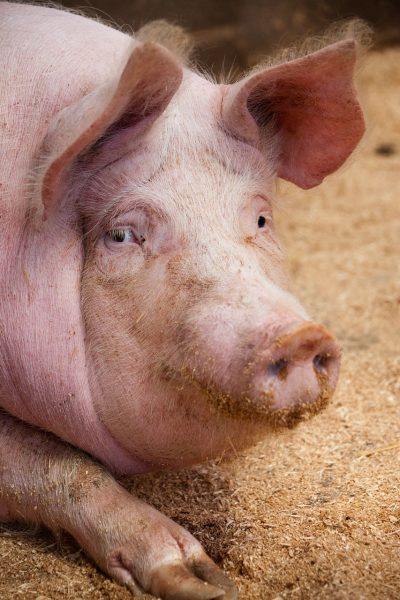猪的头部特写