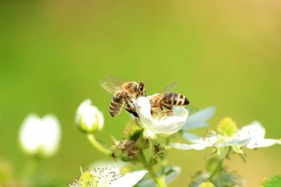 春天的两只蜜蜂采花(授粉)