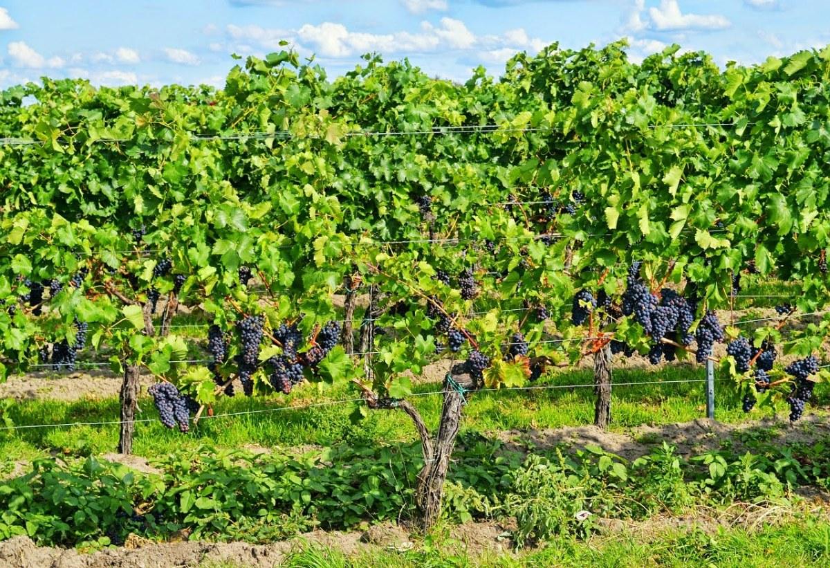 葡萄树上的葡萄