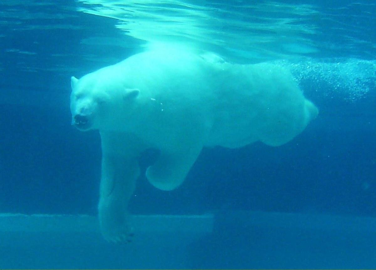 潜水的北极熊