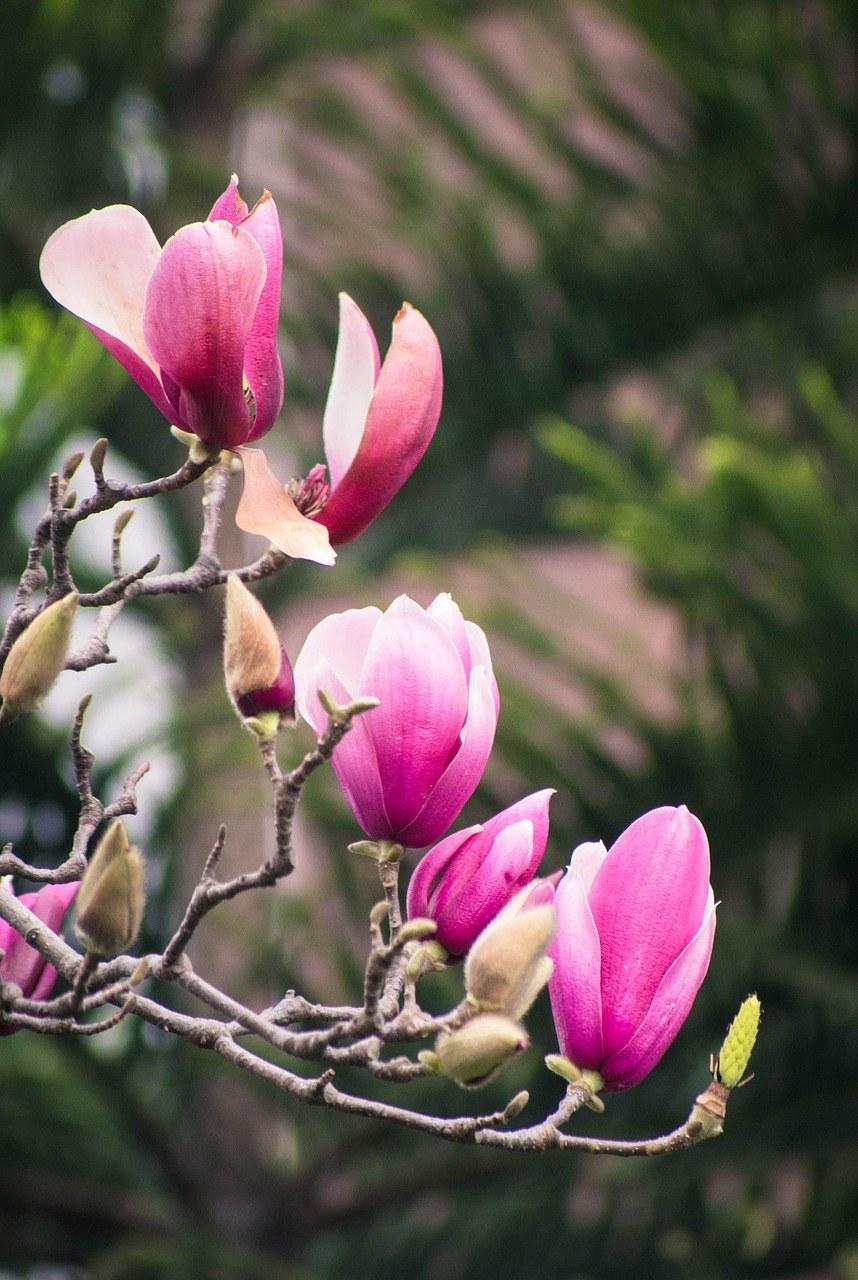 春天盛开的玉兰