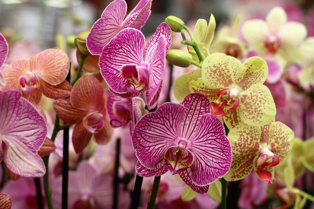花姿优美的蝴蝶兰花