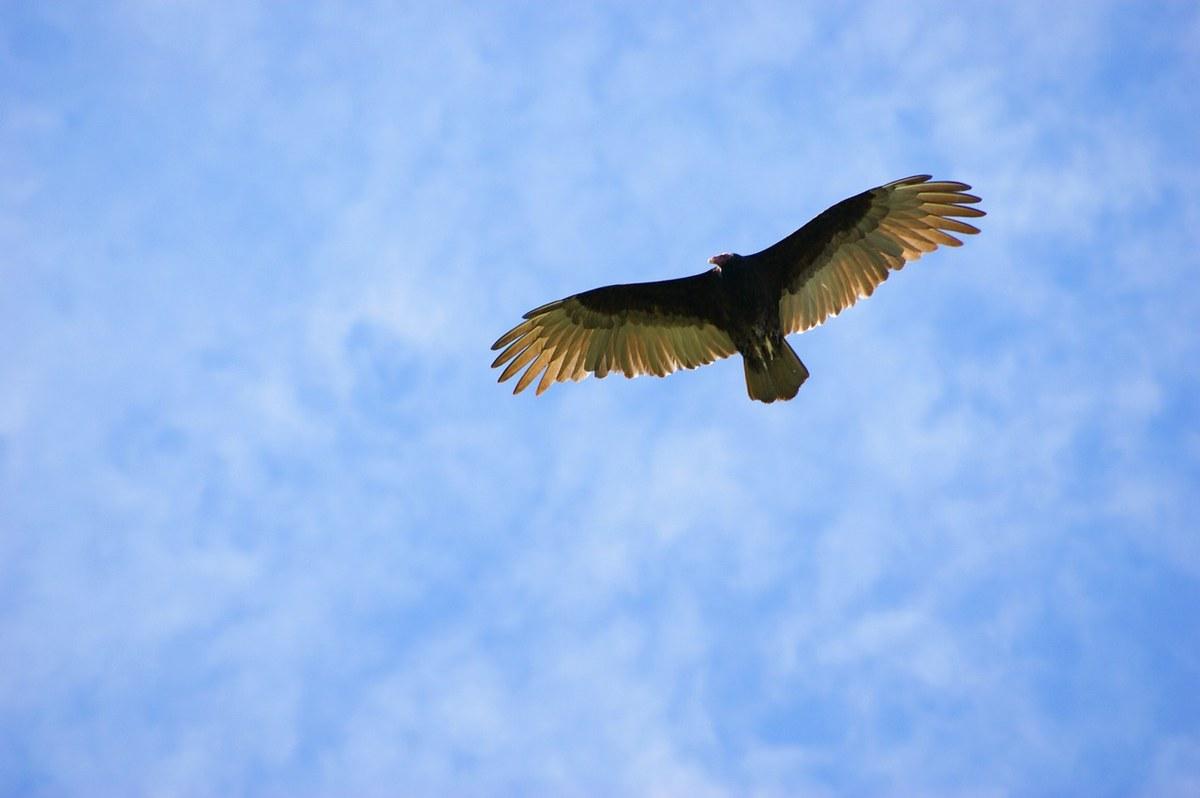 展翅飞翔的兀鹫