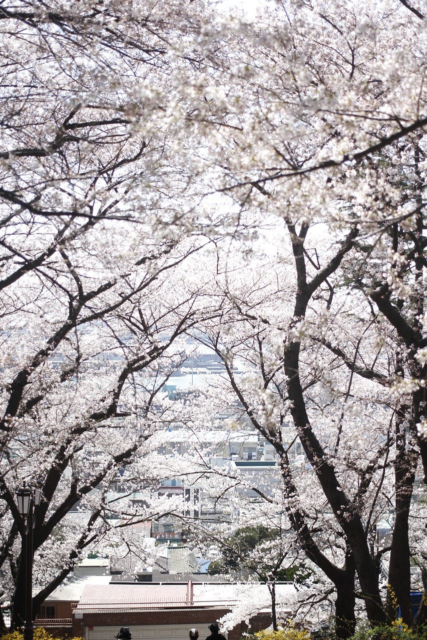 春天公园开花的樱花树