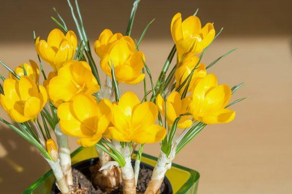 黄色的藏红花