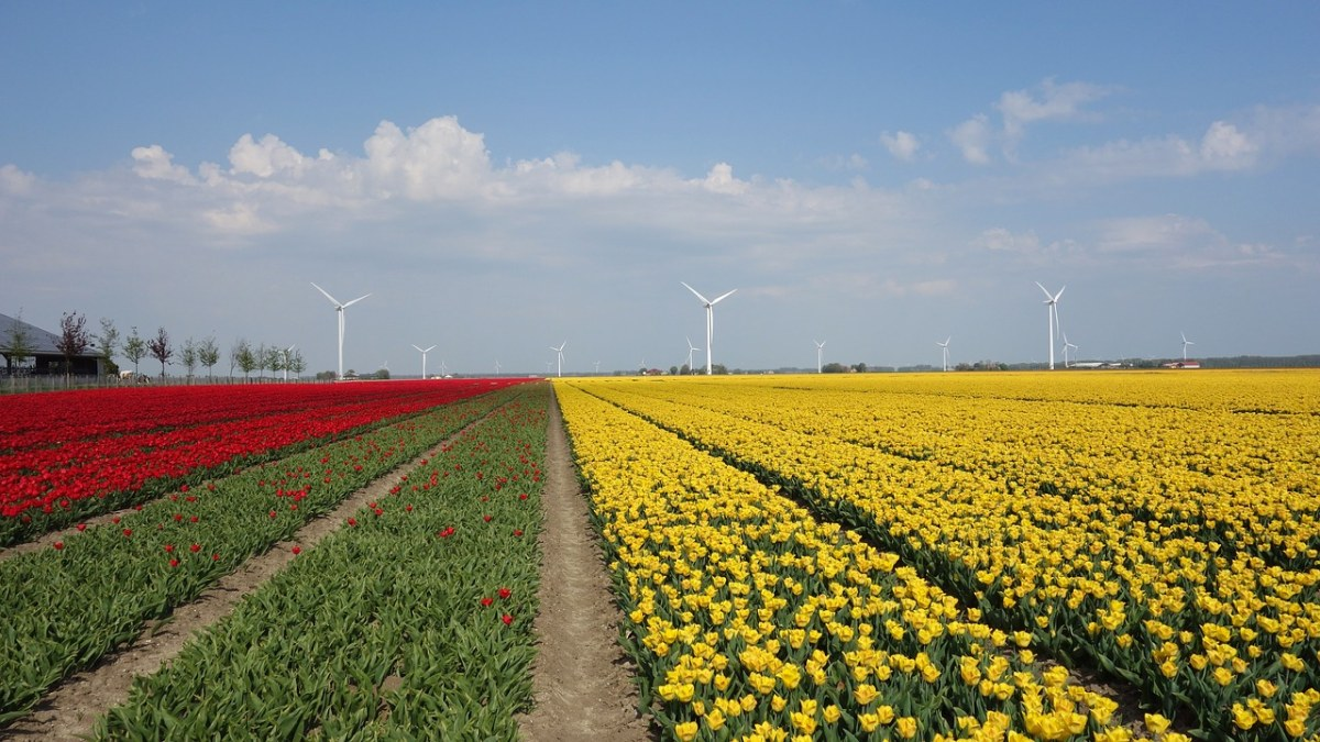 花卉种植基地风景(郁金香花海图片)
