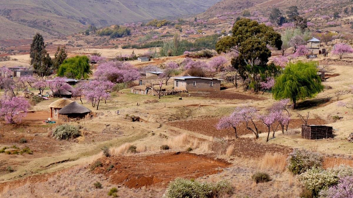 农村村庄的桃花