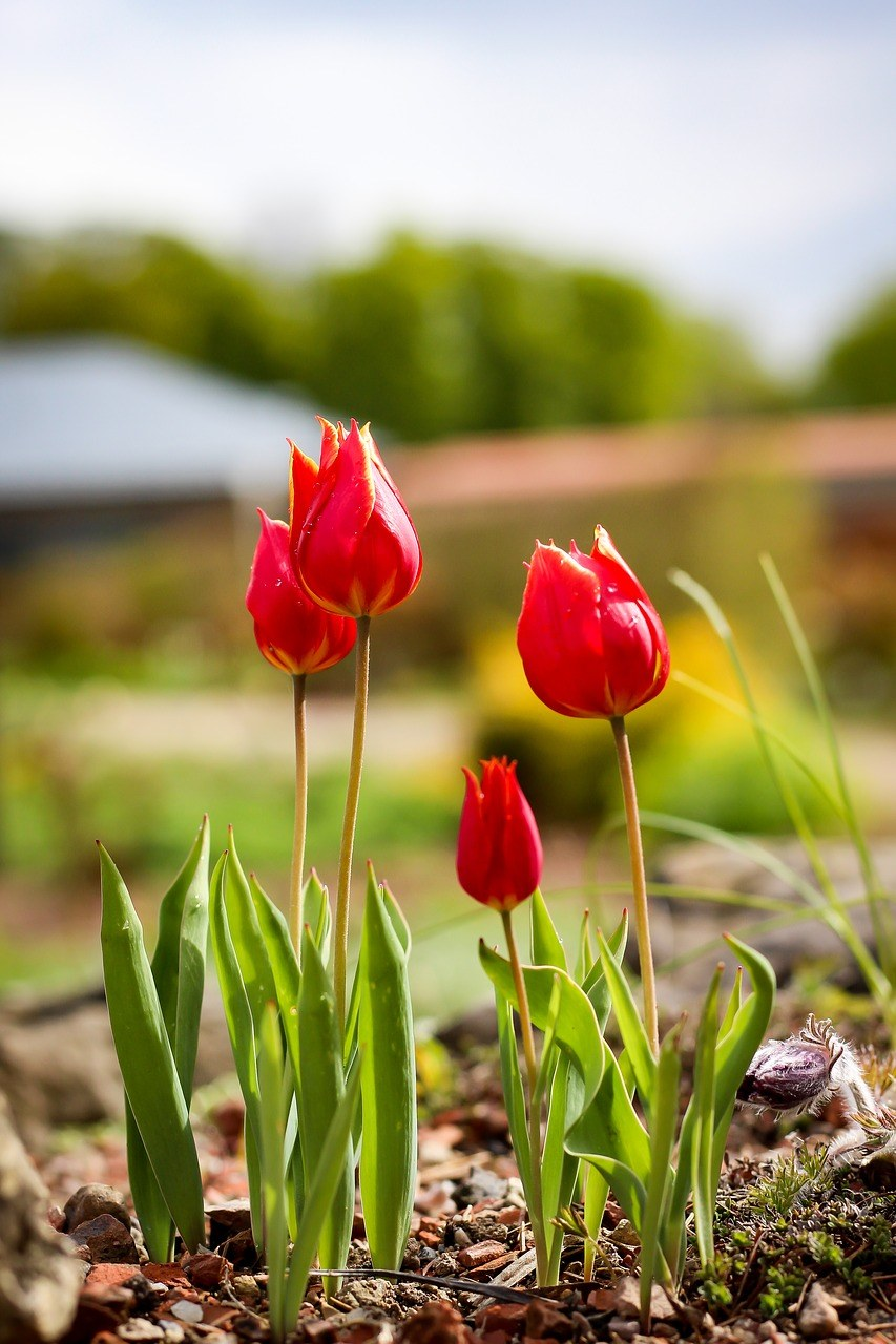 红郁金香花朵