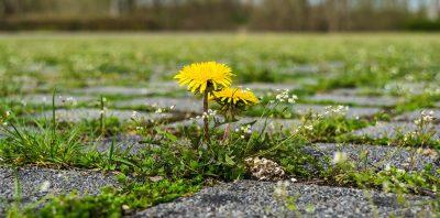 地面的蒲公英花朵