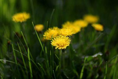 蒲公英、黄色、花卉