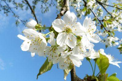 春天盛开的李花