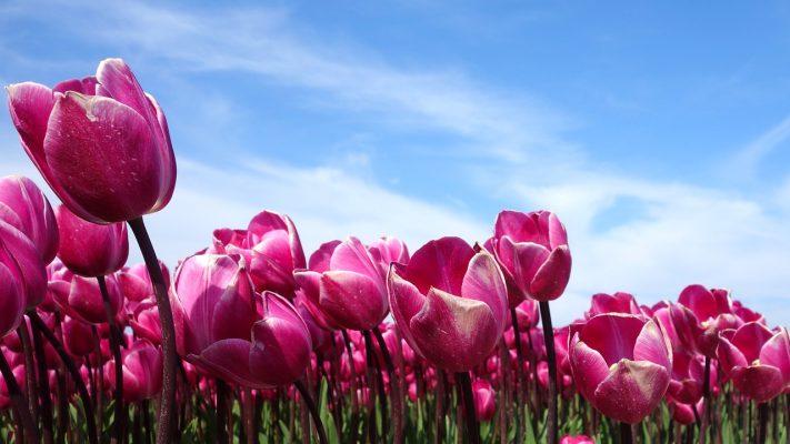 郁金香、荷兰、春天