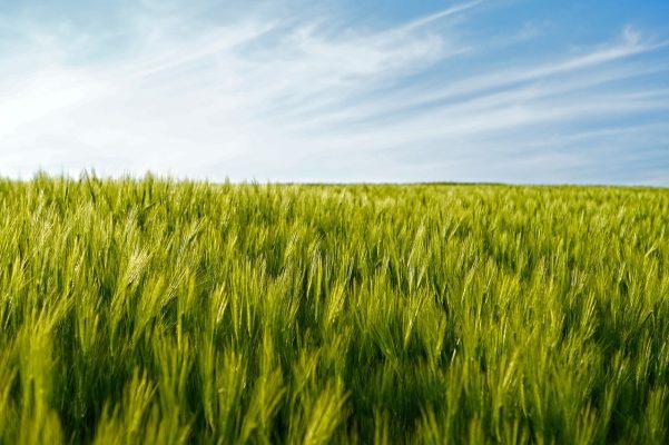 麦田的小麦农作物图片