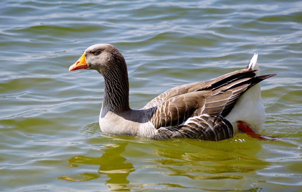 水中的灰雁(红嘴雁)