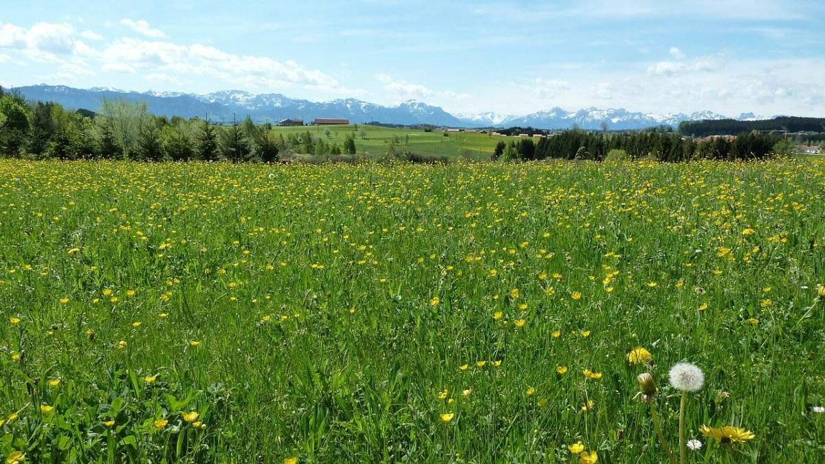 草地上的蒲公英花朵田园风景
