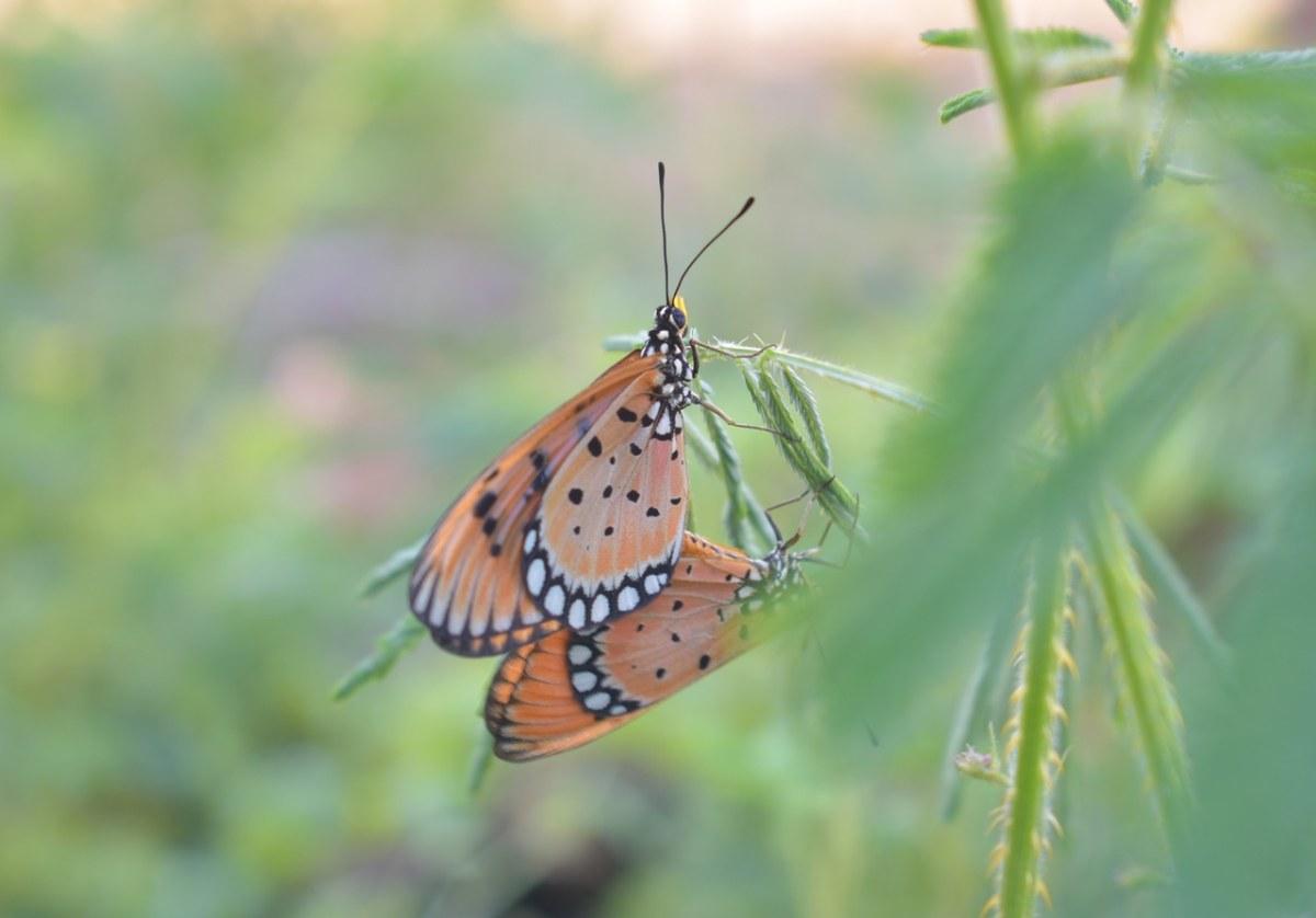 两只斑珍蝴蝶