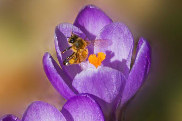 番红花花蕊里的蜜蜂