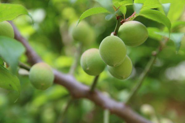 没有成熟的绿色杏子