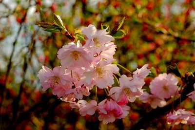 粉色樱花花朵