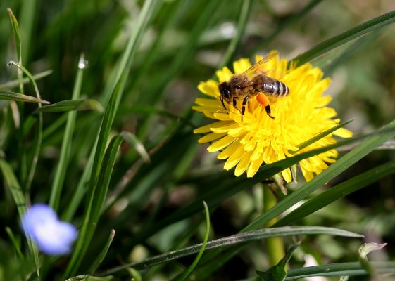 蒲公英、蜜蜂、黄色