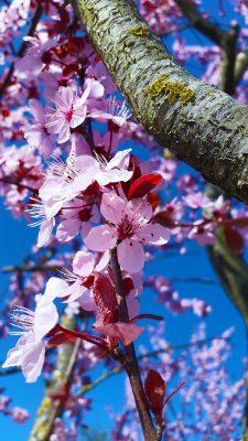 春天开粉色花的果树