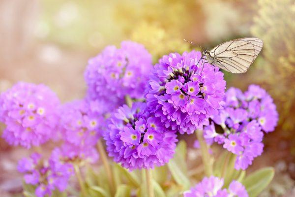 报春花上的蝴蝶