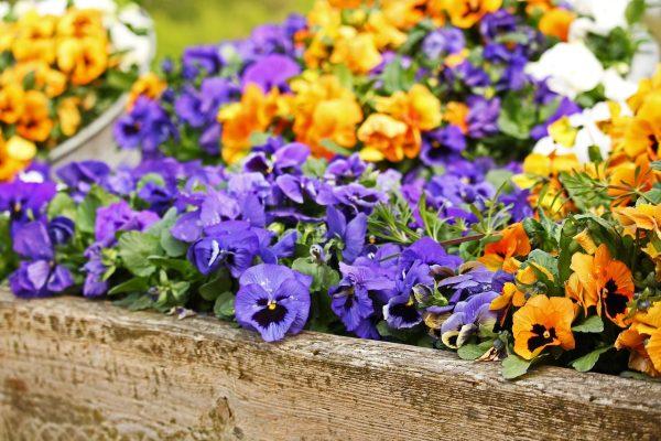 黄色与紫蓝色的三色堇