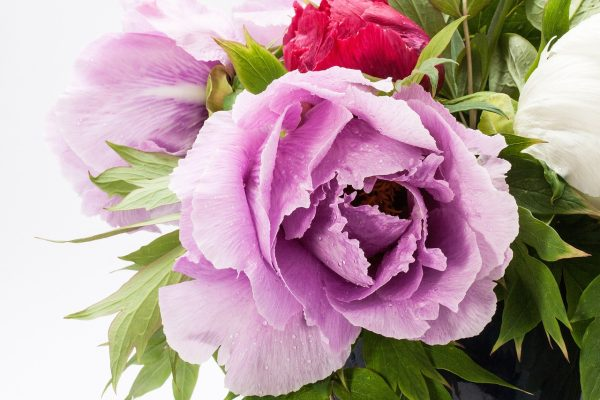 一朵粉红色的牡丹花特写