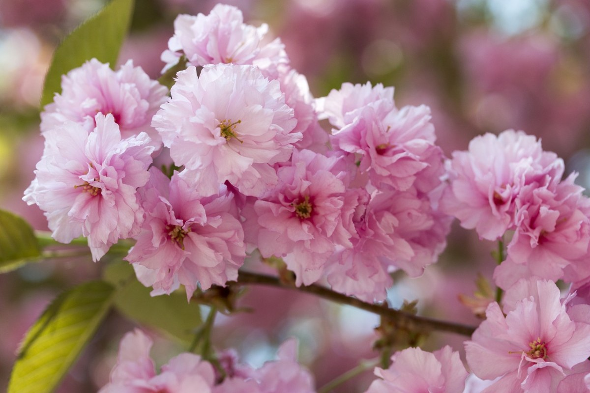 粉色的樱花花朵