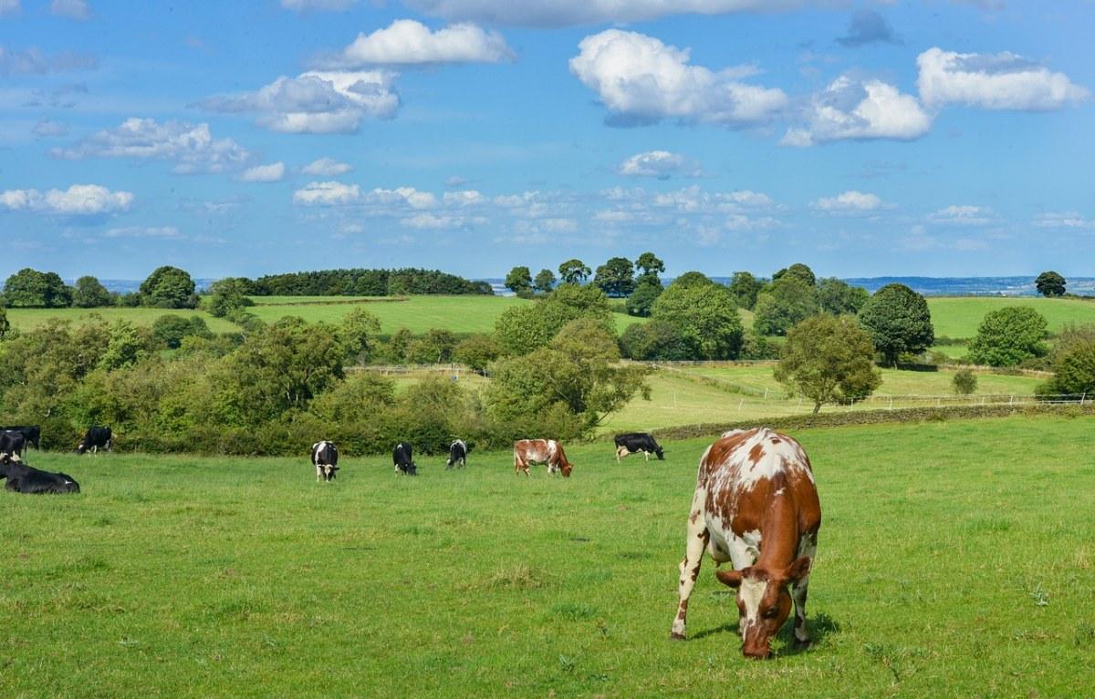 牧场草地上的奶牛牛群