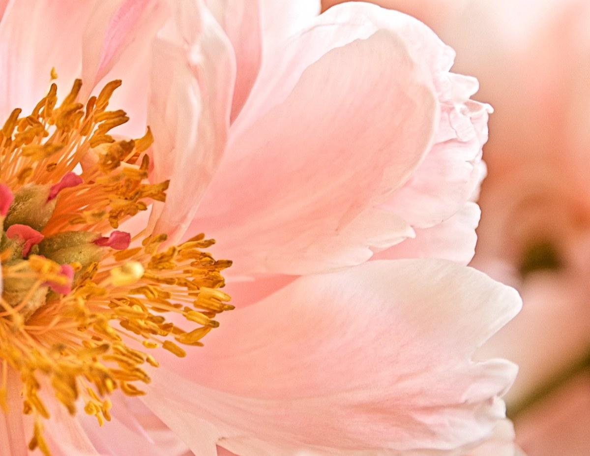 花、粉红色、雄蕊