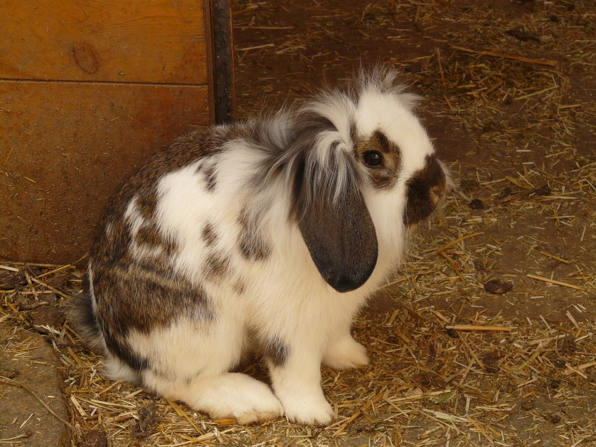 野兔、兔、侏儒兔