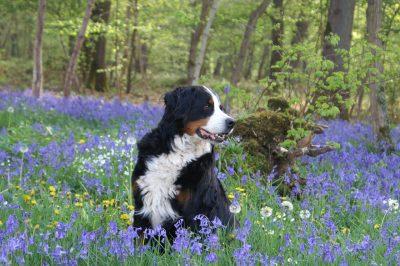 春天花丛中的一只伯恩山犬