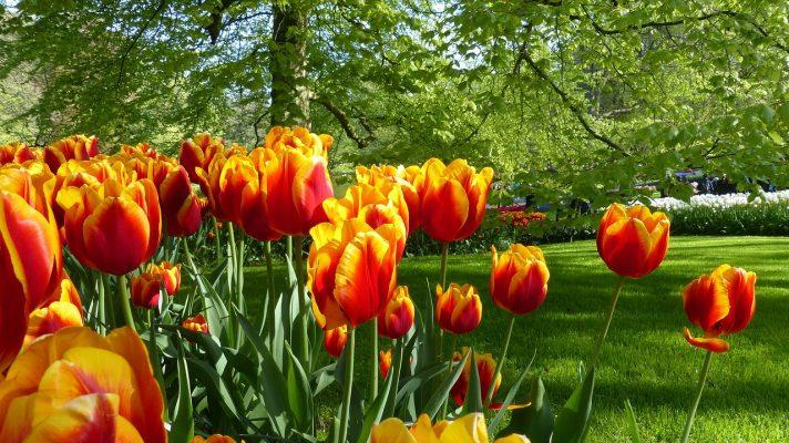 郁金香、花、花园