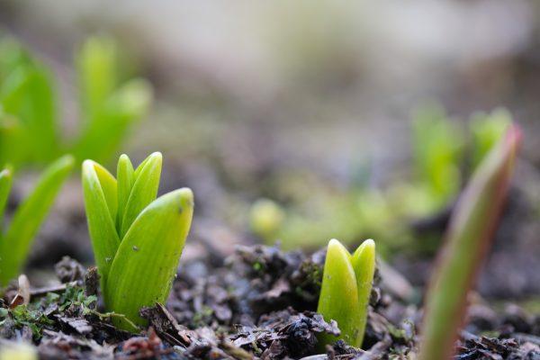 刚才土里冒出来的郁金香嫩芽