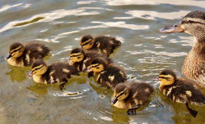 水中可爱的小鸭子群