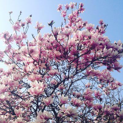 玉兰、春天、春
