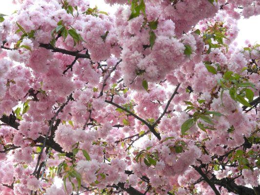 芳香四溢的樱花花朵