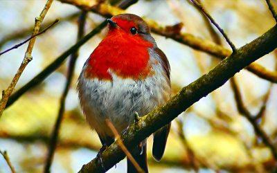 树枝上的知更鸟